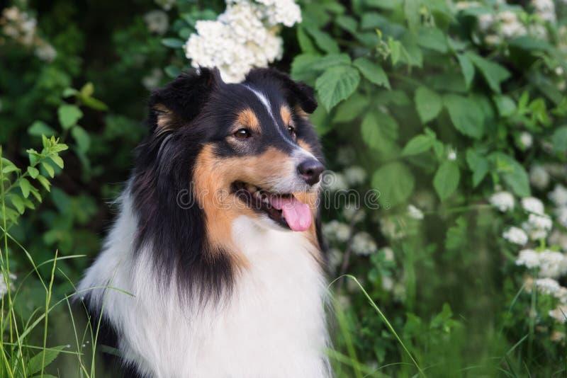 Tricolor sheltie pies outdoors w lecie zdjęcie royalty free