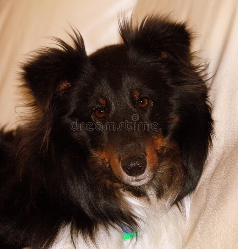 Tricolor Shelty. Tricolor Shetland Sheepdog resting on her couch. Intelligent dogs, great disposition royalty free stock photos