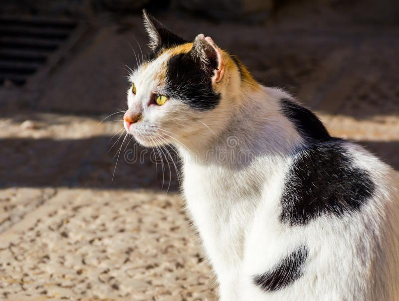 Tricolor stray cat. Sitting in the sun stock photography