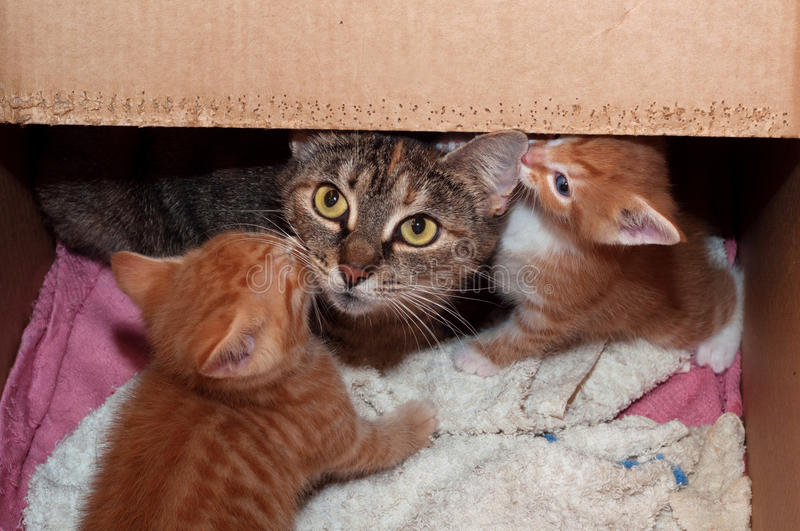 Tricolor striped cat with her kittens. In cardboard box royalty free stock photos