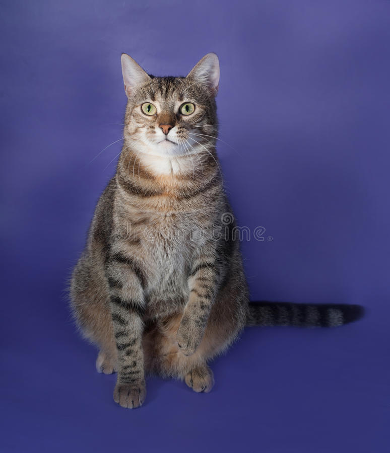 Tricolor striped fat cat on blue stock photography