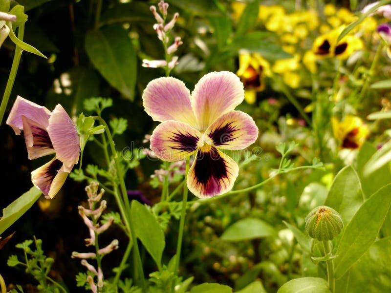 Tricolor Viola, λουλούδι Pansies στοκ εικόνες