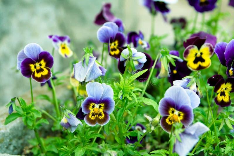 tricolor viola arkivfoton