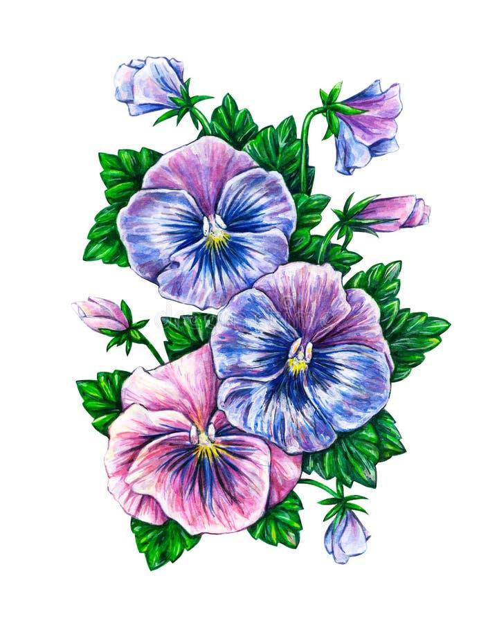 tricolor viola För pansiesblommor för vattenfärg färgrikt dra vektor illustrationer