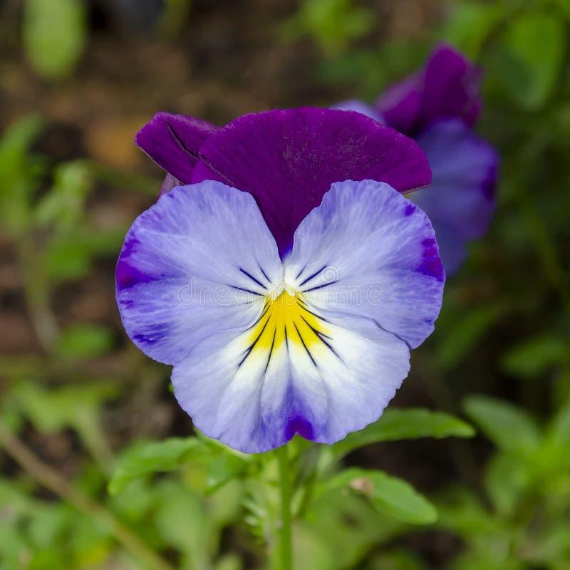 Tricolore de l'alto, connu sous le nom de corpulence, facilité du coeur, plaisir du coeur photo libre de droits