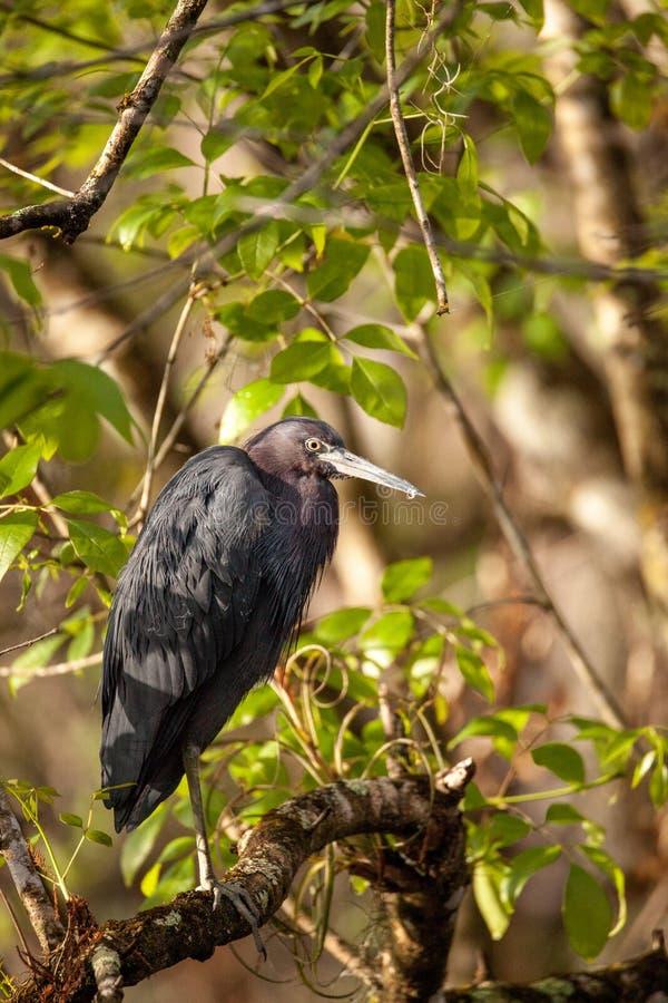 Tricolored苍鹭三色鸟的白鹭属 图库摄影