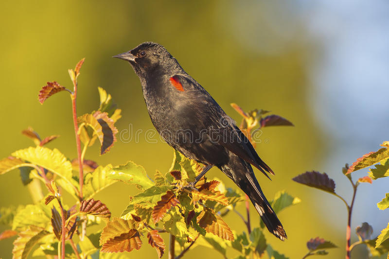 Tricolored Blackbird royalty free stock photos