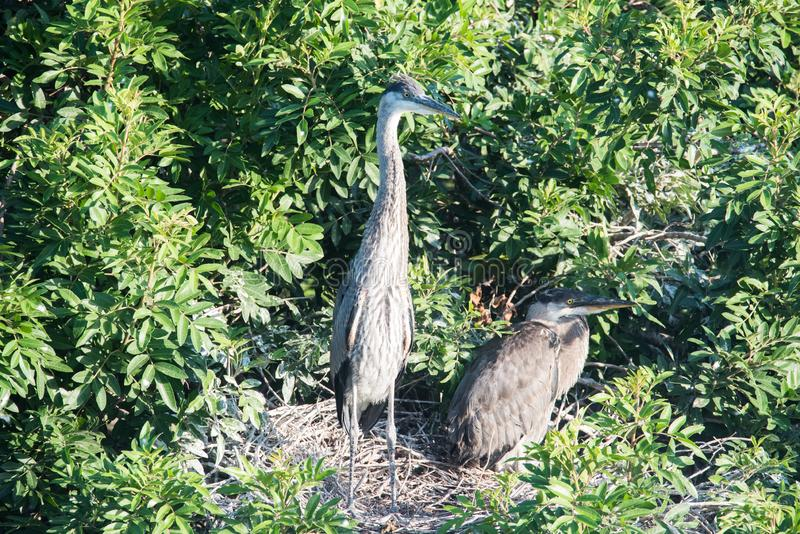 Two Tricolored Heron protecting their nesting. A mating pair of adult tricolor herons guarding their nest in anticipation of their hatch lings stock photos