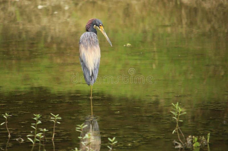 tricolored heron royaltyfri fotografi