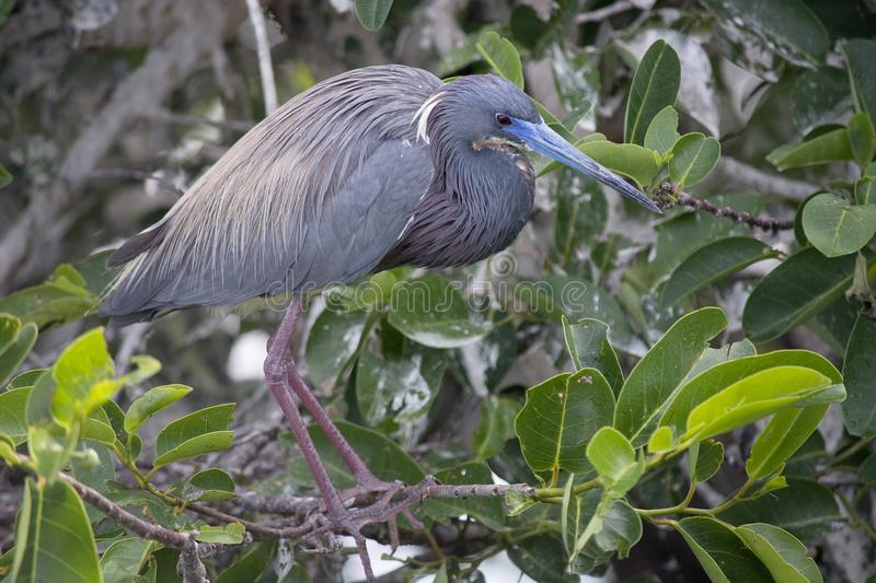 Tricolored Heron Balances on a Branching Showing Off its Breeding Plumage. Tricolored Heron Egretta tricolor Balances on a Branching Showing Off its Breeding royalty free stock photo