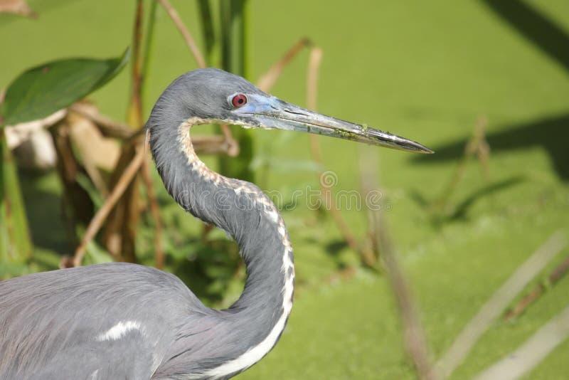 Tricolored Heron (Egretta tricolor). In the Florida Everglades stock photography