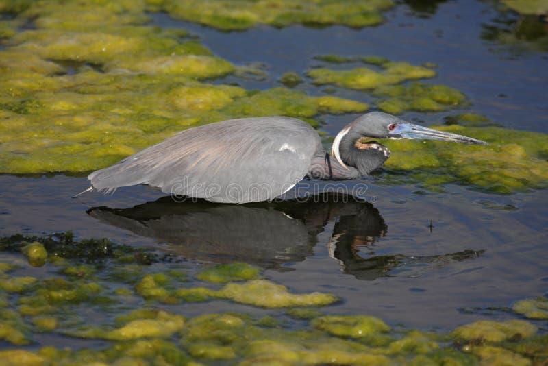 Tricolored Heron (Egretta tricolor). In the Florida Everglades stock image