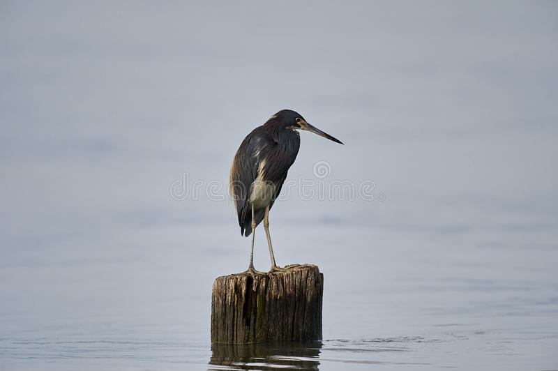 Tricolored Heron Egretta tricolor perched on a log royalty free stock photos
