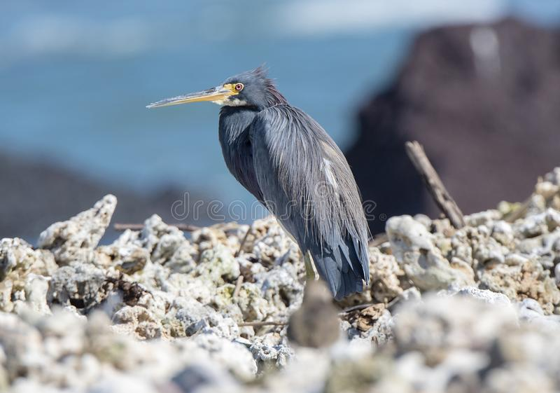 Tricolored Heron Egretta tricolor Resting on a Rocky Beach royalty free stock photos