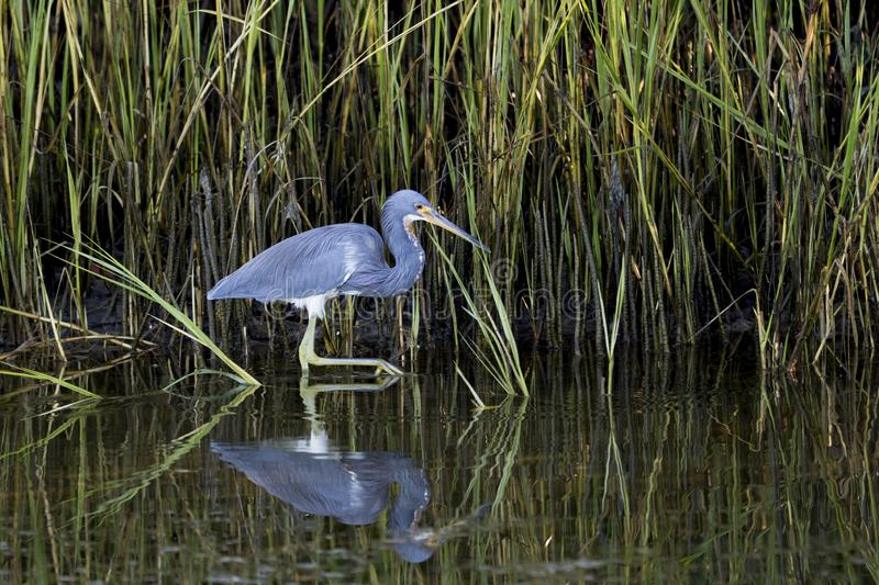 Tricolored Heron Egretta tricolor wading in shallow water looking for food. royalty free stock images
