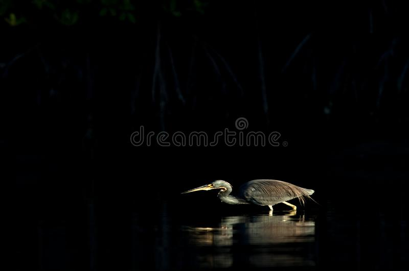 A tricolored heron feeds in late afternoon light. A tricolored heron feeds in the spotlight of low sun in the sky casting a reflection in calm water royalty free stock photo