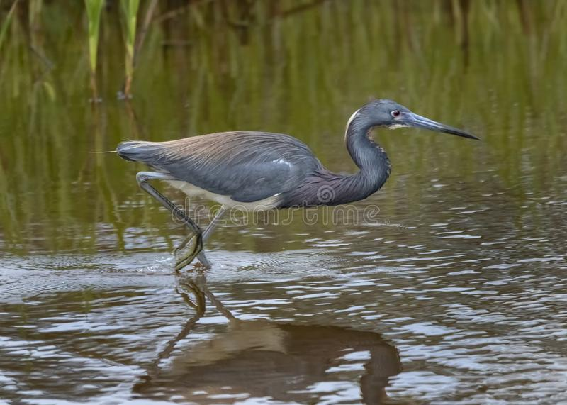 Tricolored Heron Fishing. Adult tricolored heron Egretta tricolor, formerly known in North America as the Louisiana heron. Chincoteague National Wildlife Refuge royalty free stock photography