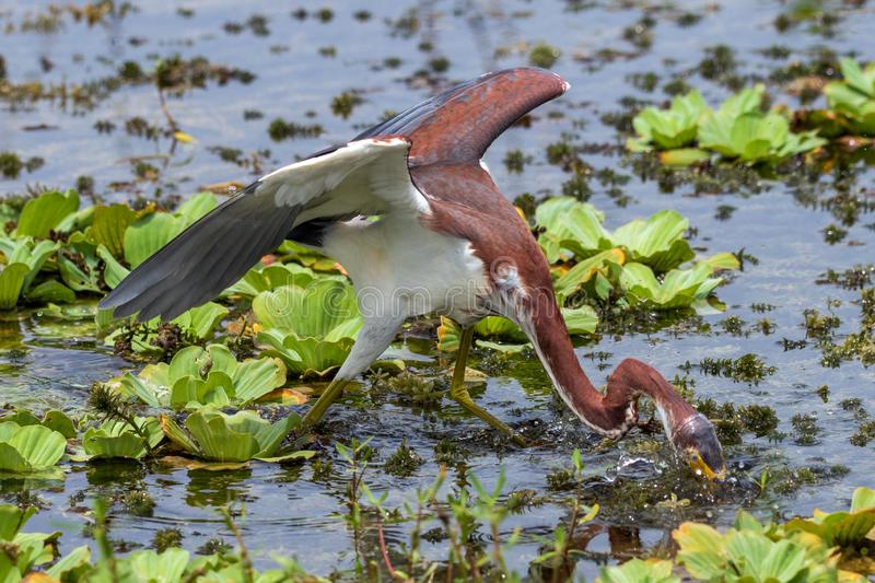 Tricolored heron fishing in a swamp. Head underwater royalty free stock photo