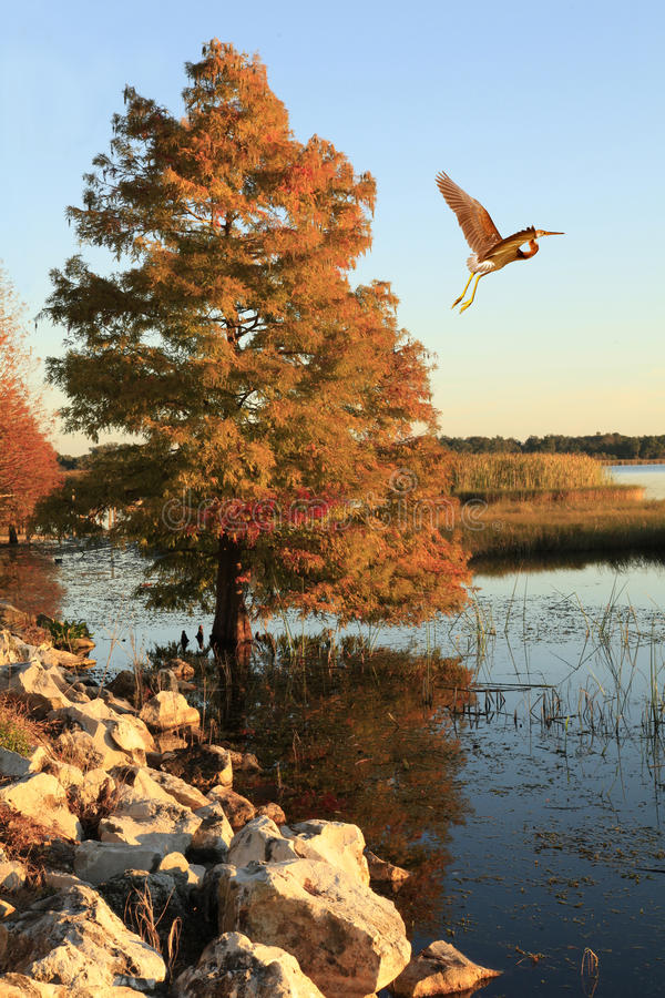 Tricolored Heron Flies Past Bald Cypress in the Fall royalty free stock photo