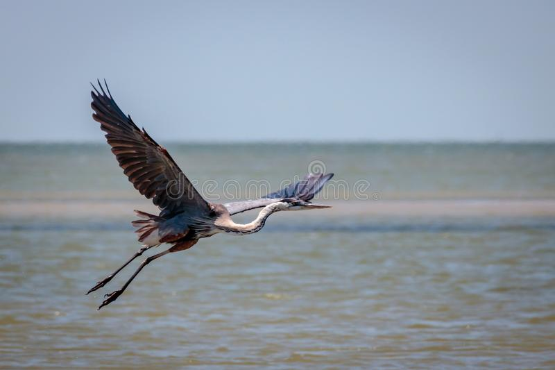 Tricolored Heron Flying on the Shoreline of the Texas Coast. Of Port Aransas royalty free stock photo