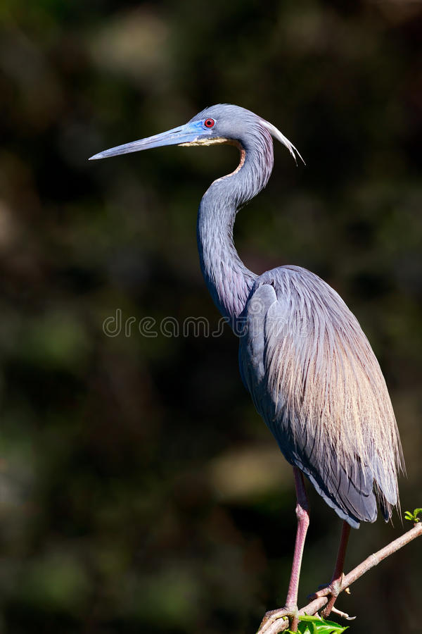 Download Tricolored Heron stock photo. Image of feathers, tricolored - 39511084
