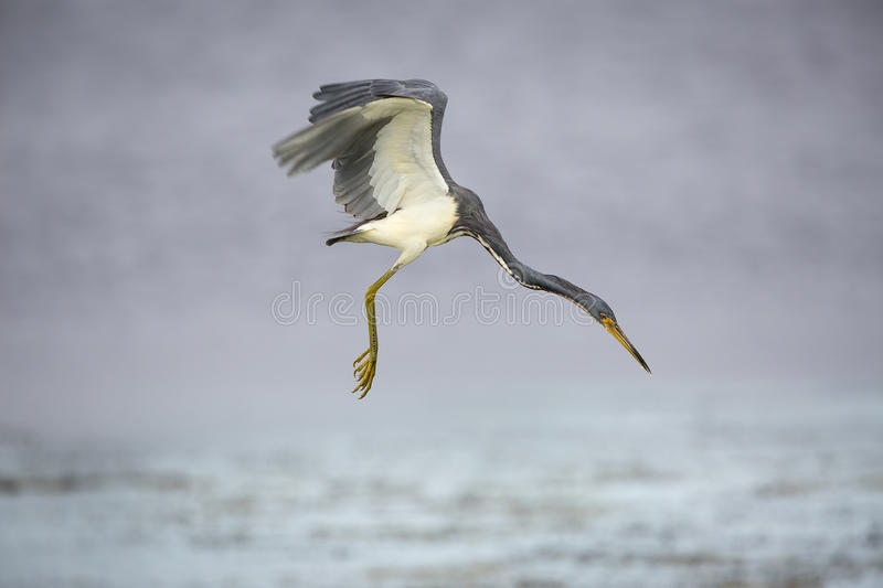 Tricolored Heron Hovering in Search of a Fish. A tricolored heron (Egretta tricolor) in flight as it prepares to plunge for a fish - Florida royalty free stock image