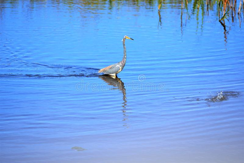 The Tricolored Heron sees the splash and heads for the area filled with fish. Tricolored Herons are striking, especially for a short period in early spring when stock image