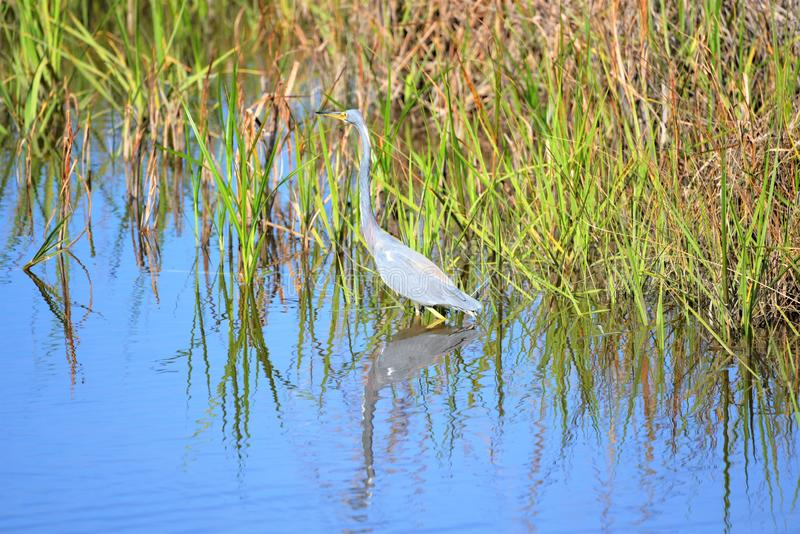 The Tricolored Heron used to be called the Louisiana Heron. The tricolored heron, formerly known as the Louisiana heron, is a small species of heron that is royalty free stock photo
