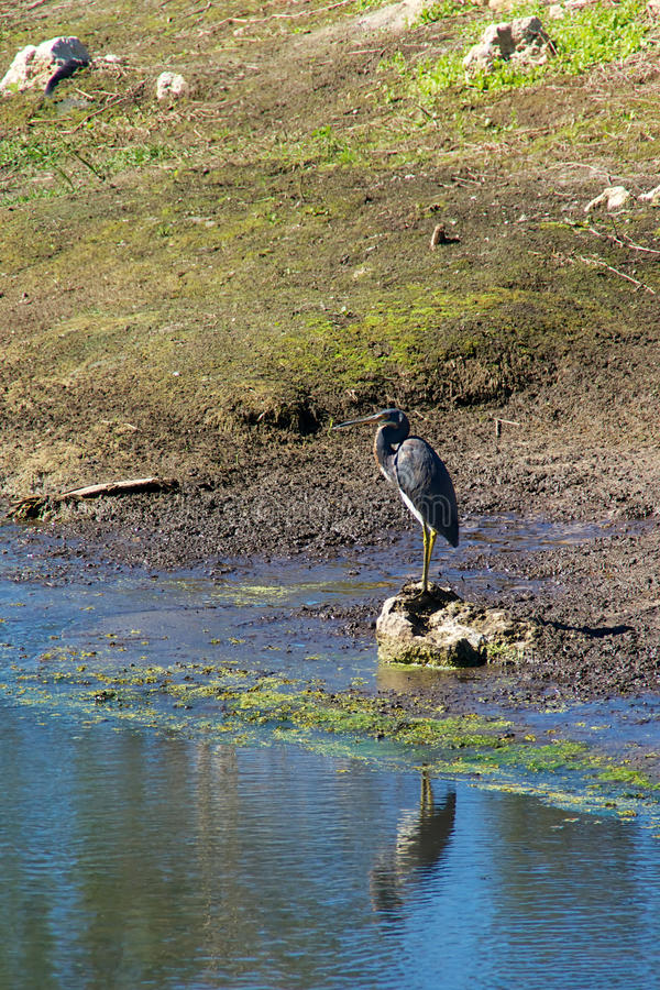 Tricolored Heron At Water Edge Stock Photo