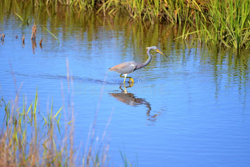 The Tricolored Heron is a non-stop hunter among marsh water birds. Tricolored Herons are striking, especially for a short period in early spring when they attain stock image