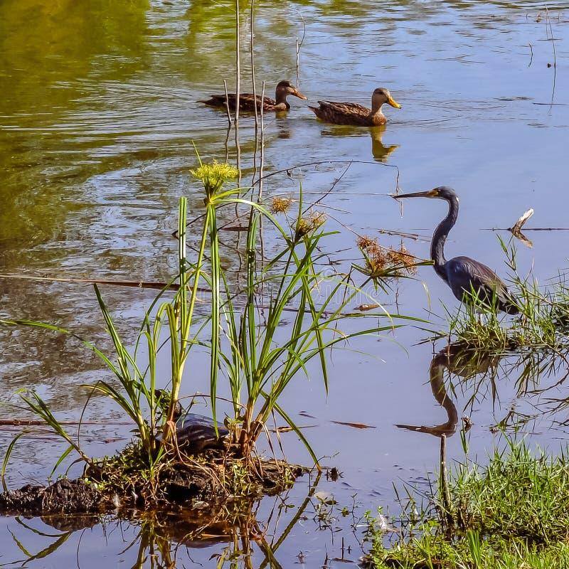 Tricolored kaczki w lagunie z żółwiem i czapla fotografia royalty free