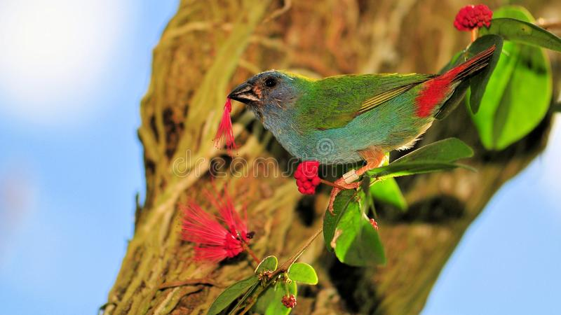 Tricolored Parrot Finch bird, Indonesia (Timor) royalty free stock image