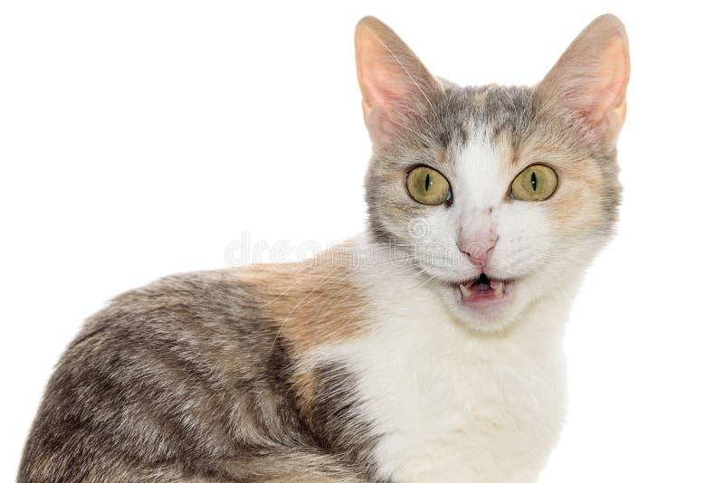 Tricolorwit van het kattenportret royalty-vrije stock afbeelding