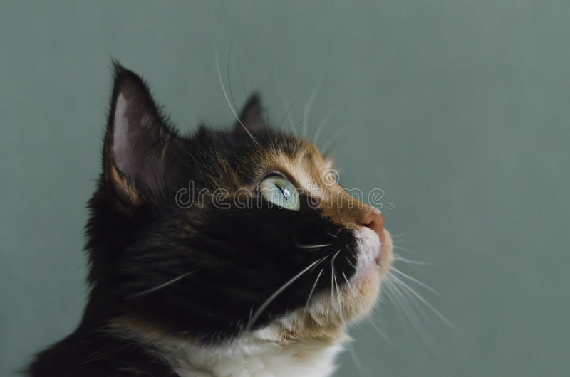 Tricolour кот с зелеными глазами стоковое изображение