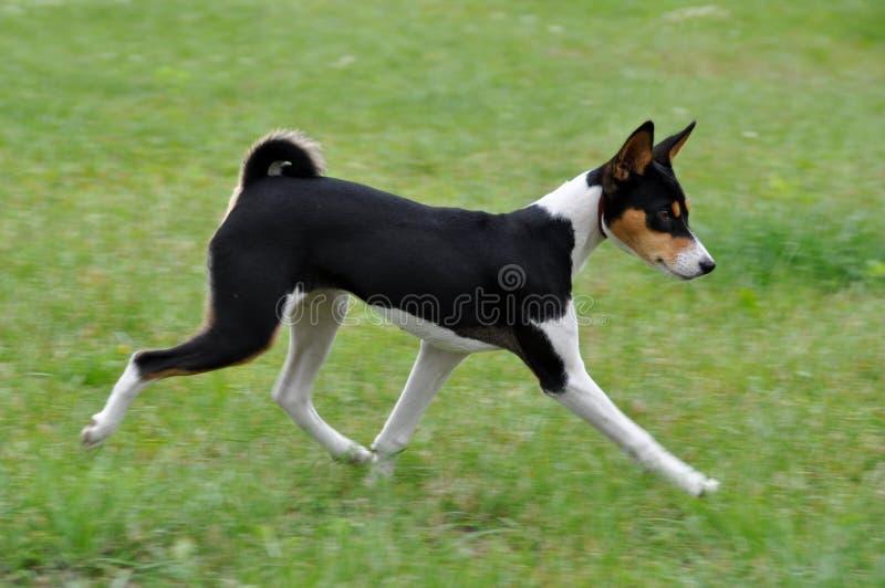 Tricolour Basenji dog stock images