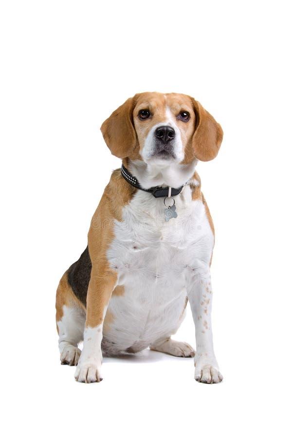 Tricolour Beagle dog stock photography