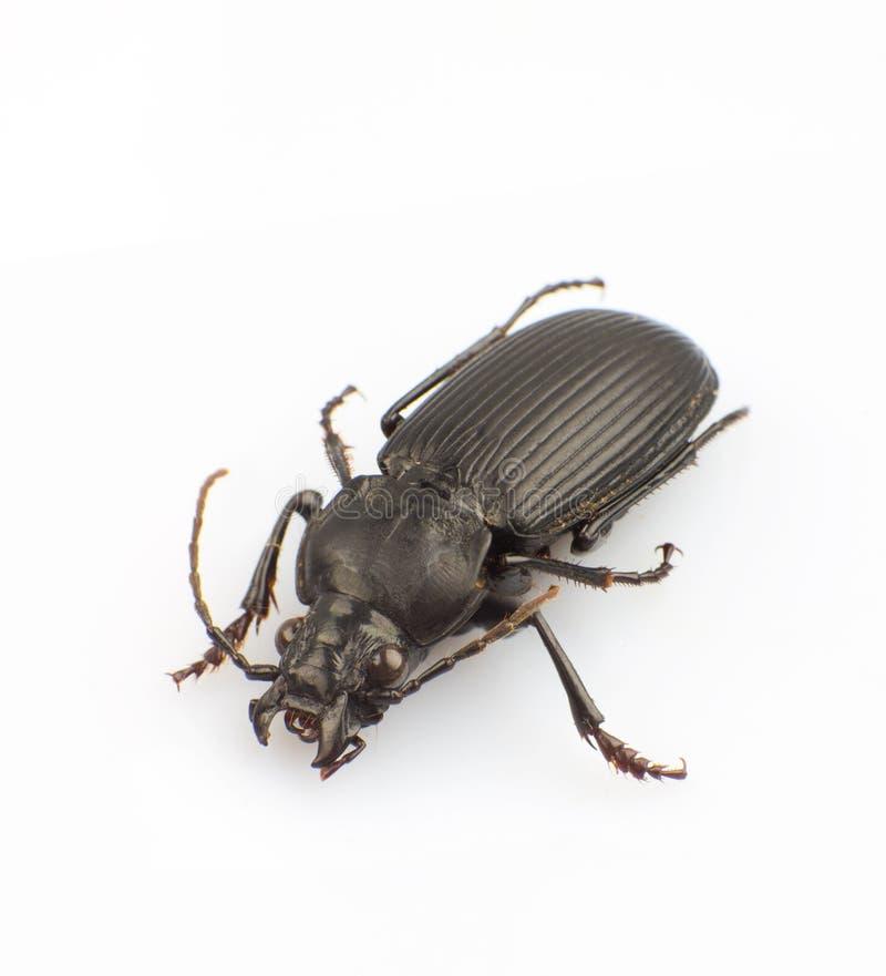 Download Trictenotomidae stock foto. Afbeelding bestaande uit nave - 29501274