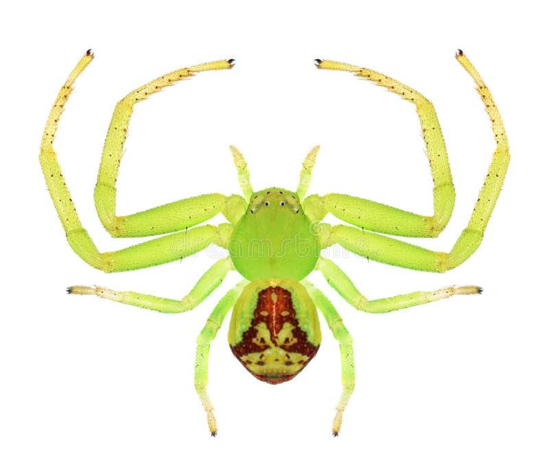 Tricuspidata de Ebrechtella de la araña (femenino) imagen de archivo libre de regalías
