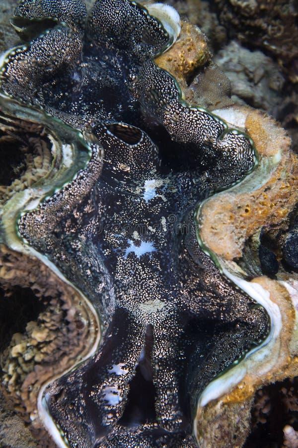 tridacna максимумов clam общий гигантский стоковое фото rf