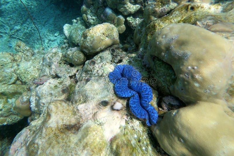 Tridacna em uma água pouco profunda do recife de corais, Maldive fotografia de stock