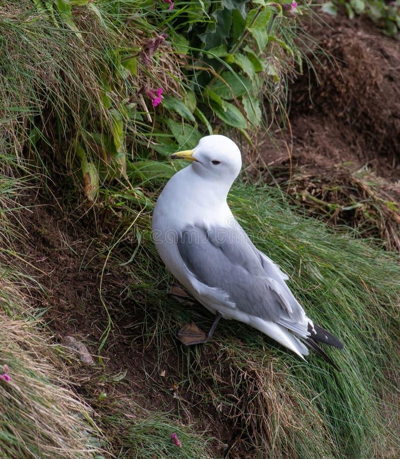 Tridactyla do Rissa das gaivotas do assentamento nos penhascos do mar na ilha de maio fotos de stock