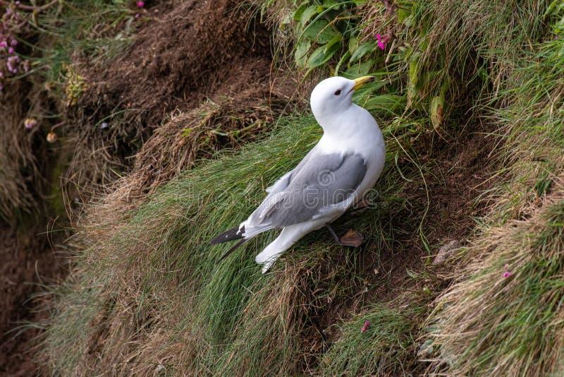 Tridactyla do Rissa das gaivotas do assentamento nos penhascos do mar na ilha de maio foto de stock