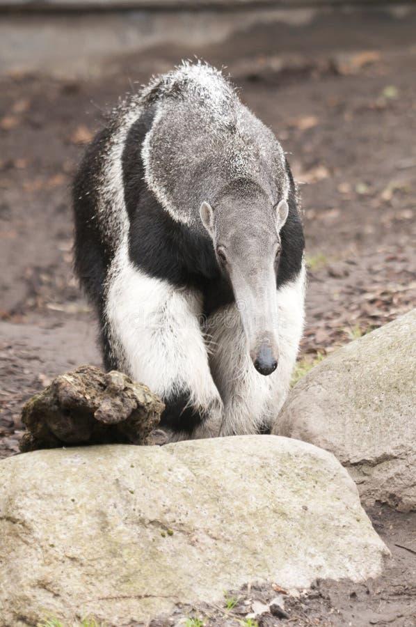 tridactyla myrmecophaga anteater гигантское стоковая фотография rf