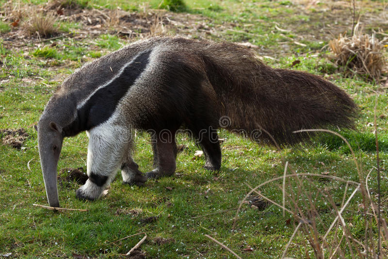 tridactyla myrmecophaga anteater гигантское стоковая фотография