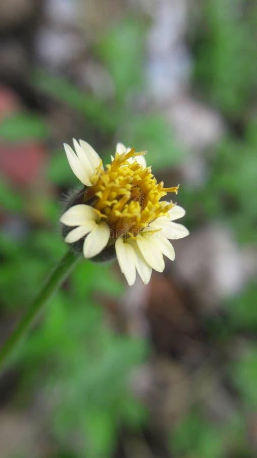 Tridax daisy / Tridax procumbens stock photo