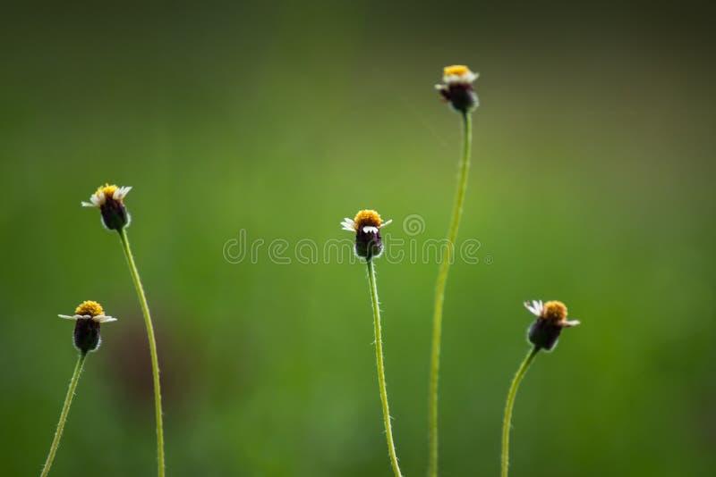 Tridax procumbens或墨西哥雏菊草开花长大在与美好的阳光的路旁的草本 库存照片