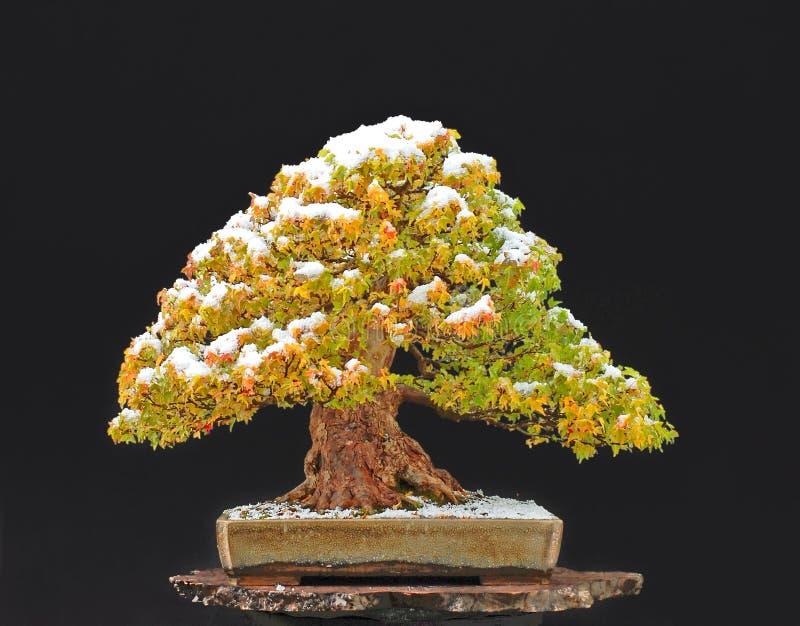 Trident maple bonsai with snow royalty free stock photo