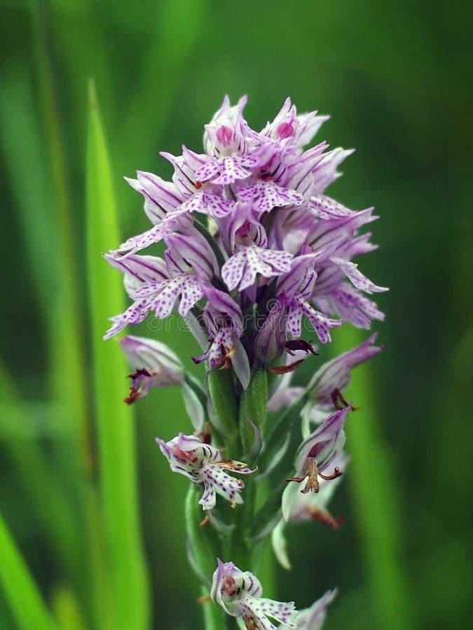 Tridentata di Neotinea, l'orchidea dentata tre fotografia stock libera da diritti