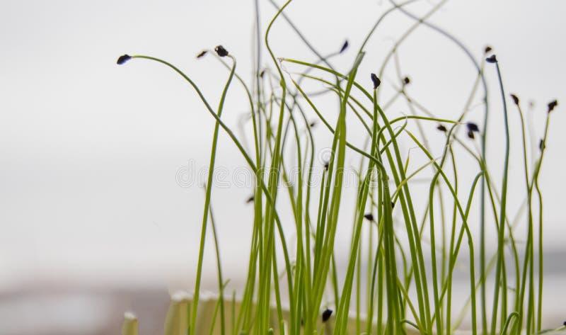 Triebe von den Anlagen gekeimt vom Samen, das Konzept des Schrittes der Bearbeitung von den Samen von landwirtschaftlichen Anlage lizenzfreies stockfoto