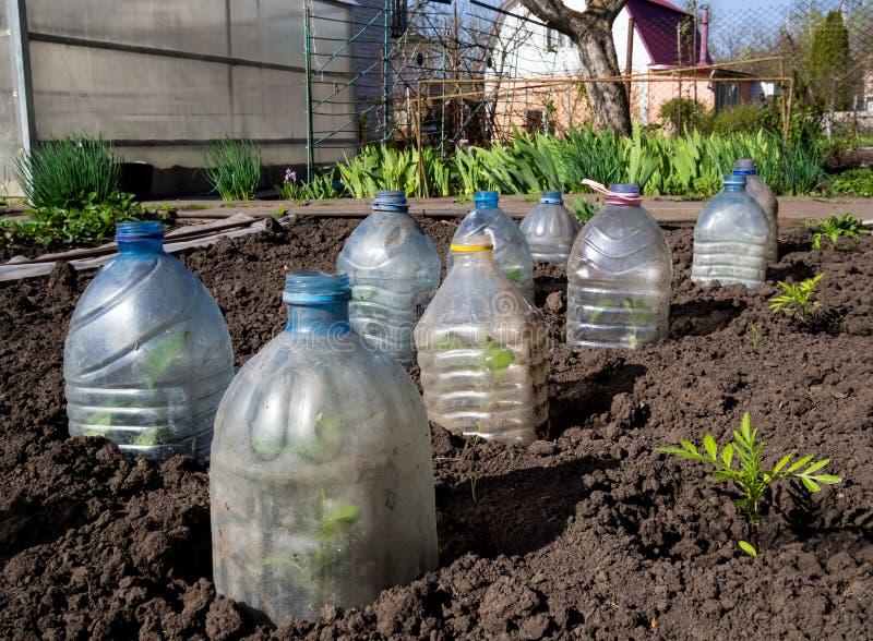 Triebe werden mit den Kappen bedeckt, die von den Plastikflaschen hergestellt werden lizenzfreies stockfoto